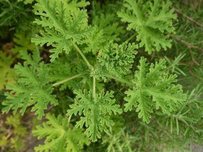 1311star-geranium