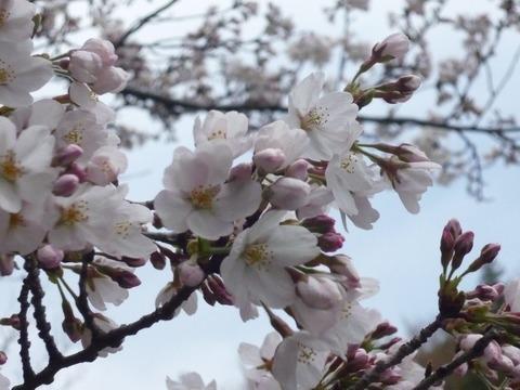 ①芹ヶ谷公園の桜