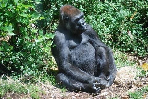 australia-gorilla-werribee-park_121-71134