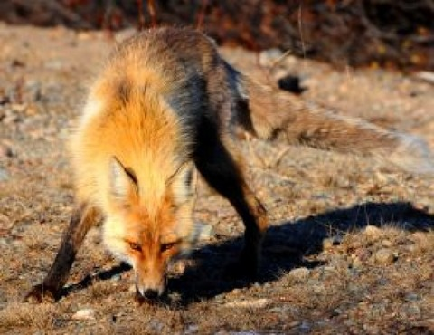 lone-fox-vector_21187339