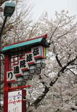 伝法院通の桜