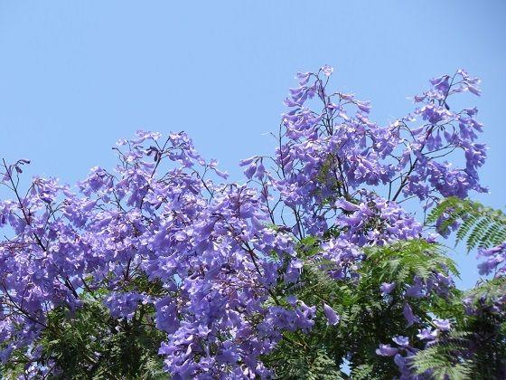 ジャガランタの花
