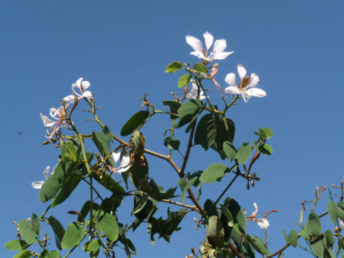 コイララの花