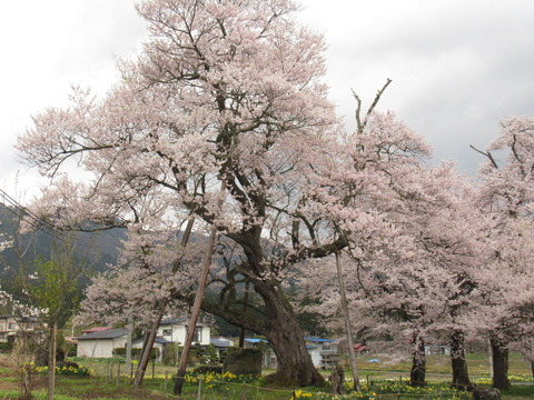 IMG_8550十二の桜
