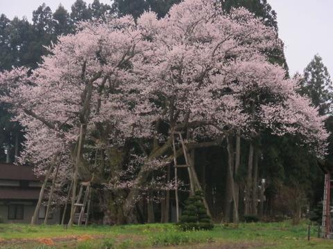 IMG_8451草岡大明神桜