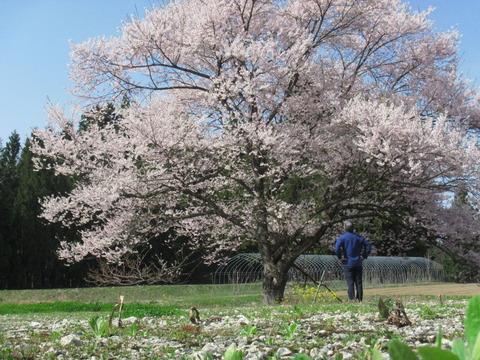 IMG_0659高円寺の桜