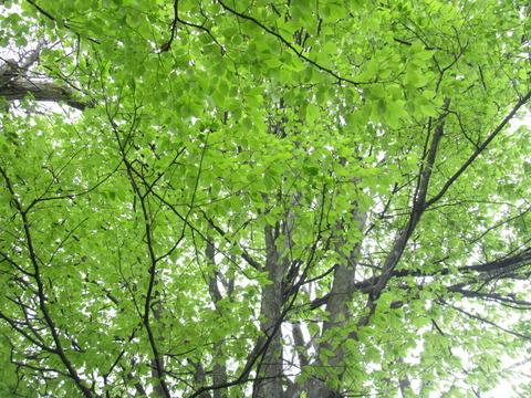 IMG_8623庭のブナ新緑