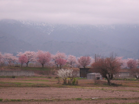 IMG_8426桜堤