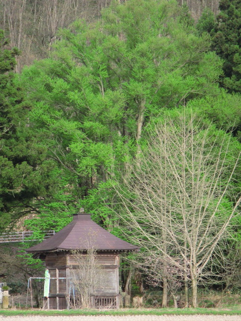 IMG_0713小坂地蔵堂のカツラ