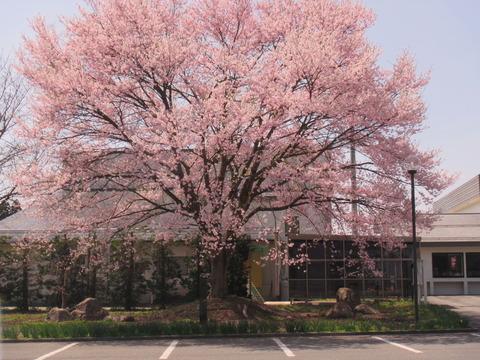 IMG_0609蚕桑地区公民館の桜