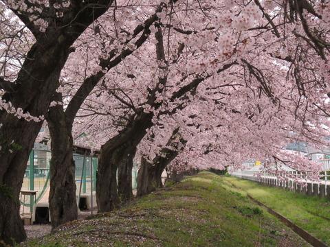 IMG_0700長井高校の桜