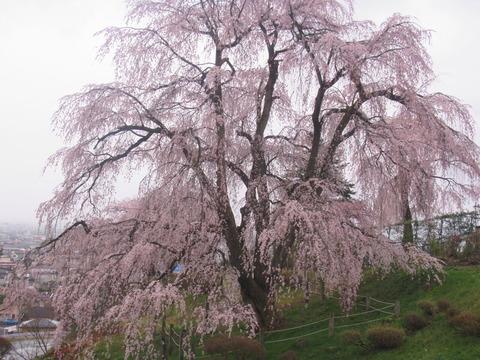 IMG_8441眺陽桜