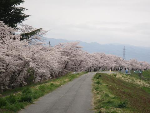 IMG_8423、最上川千本桜