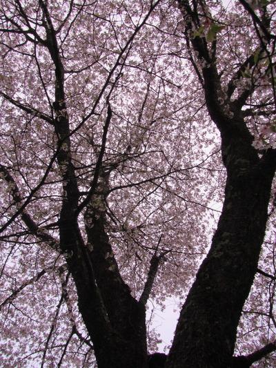 IMG_8682上伊佐沢の遅い桜