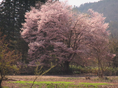 IMG_0656喜三郎桜