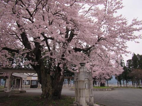 IMG_0695蚕桑駅前の桜