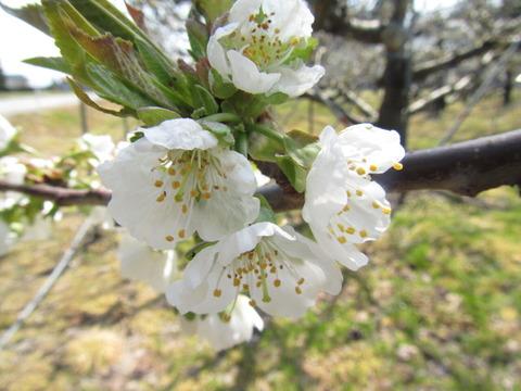IMG_8592サクランボの花