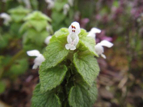 IMG_8464白花のヒメオドリコソウ