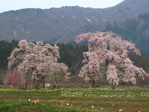 十二の桜(IMG_3824)