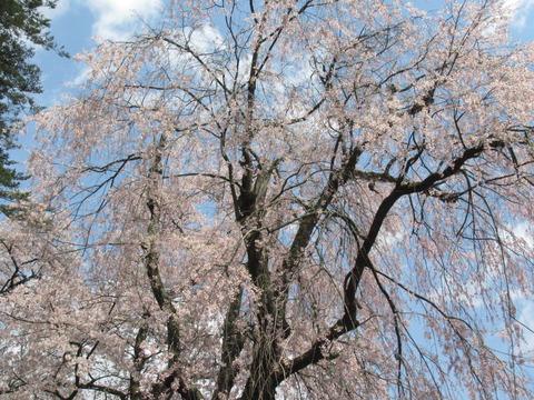 IMG_8571勧進代総宮神社の桜