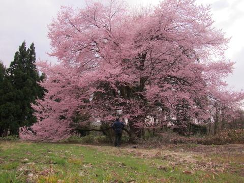 IMG_8491喜三郎桜