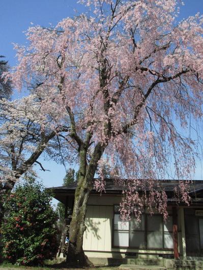 IMG_0661勧進代総宮神社の枝垂桜