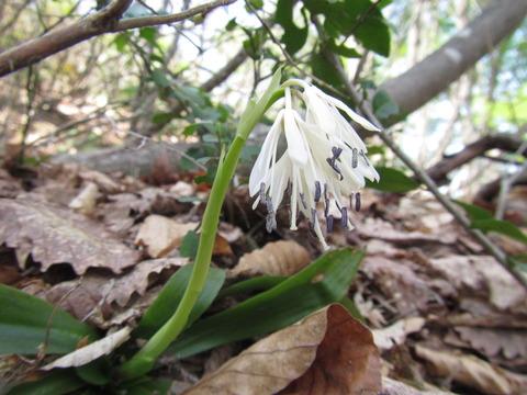 白花ショウジョウバカマIMG_4542