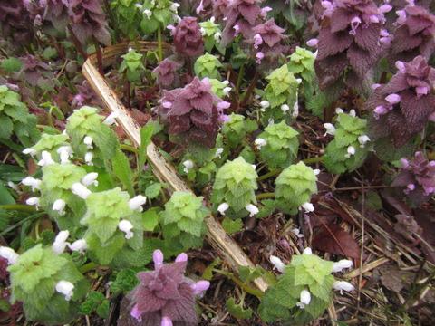 IMG_8462白花のヒメオドリコソウ