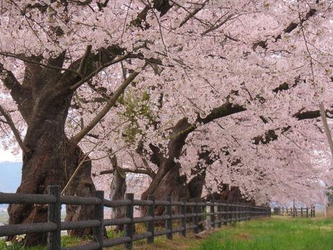 IMG_8538スポーツ公園の桜
