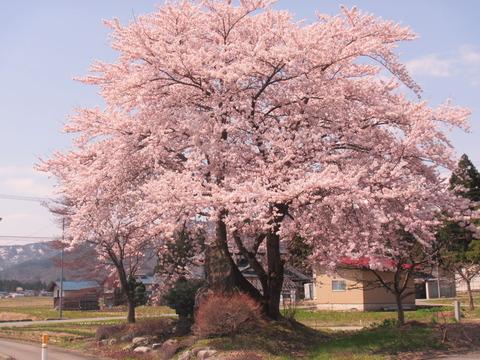 IMG_0608川原沢入り口の桜