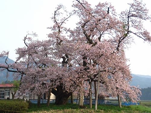 山口の奨学桜(IMG_3827)