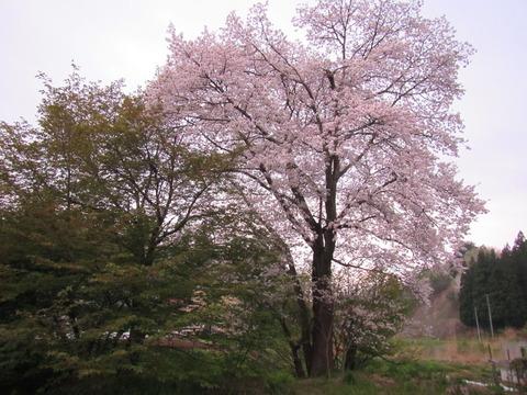 IMG_8678上伊佐沢の遅い桜
