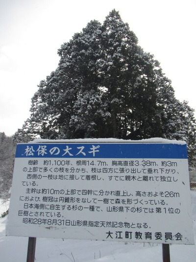 IMG_7397松保の大杉