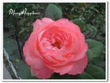 rose1204