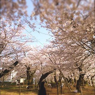 2015sakura_09