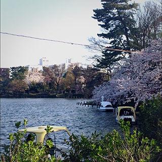 2015sakura_07