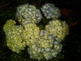 ♪紫陽花♪
