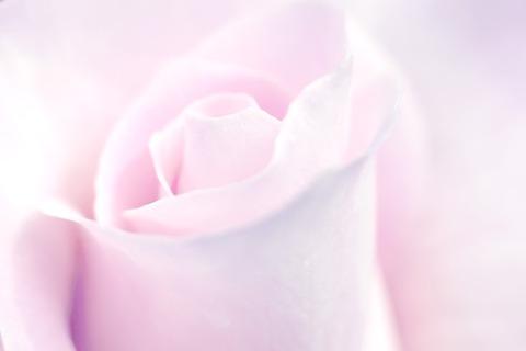 rose-2629518_960_720