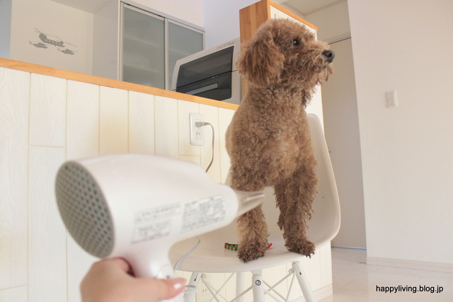犬 シャンプー 自宅 ドライヤー 首輪 (3)