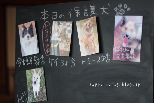 保護犬カフェ つくば キドックス 里親 中型犬ミックス (11)