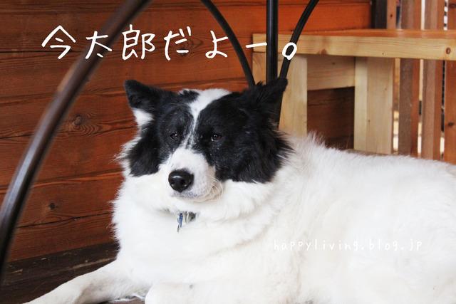 保護犬カフェ つくば キドックス 里親 中型犬ミックス (6)