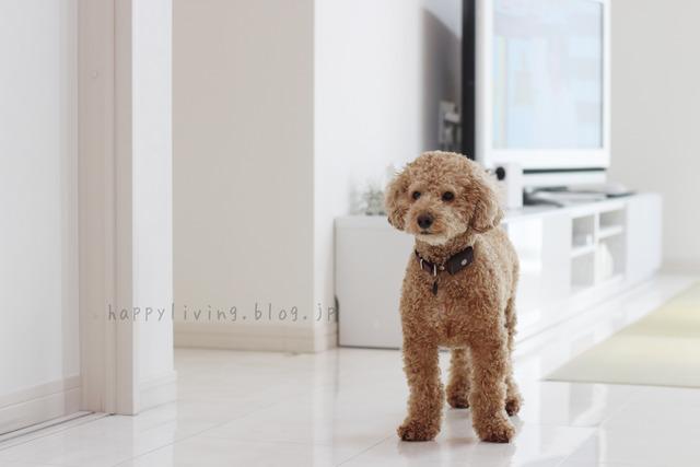 愛犬の日 ブログ おすすめ 犬と暮らす トイプードル 室内フリー (4)