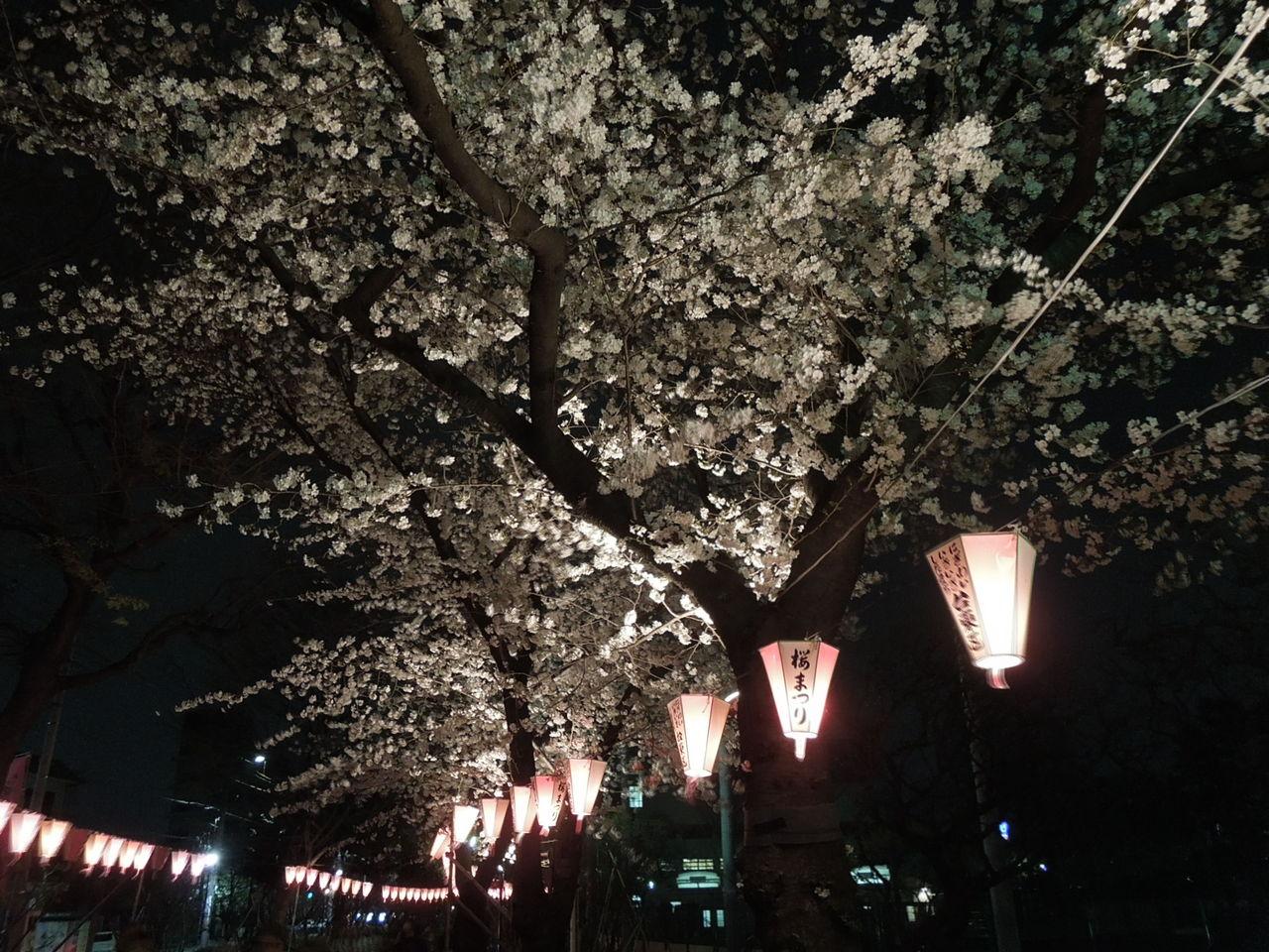 夜の提灯と桜