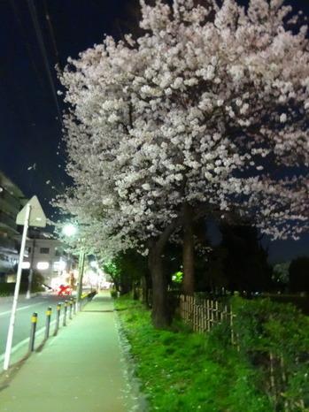 行徳駅前公園の夜桜