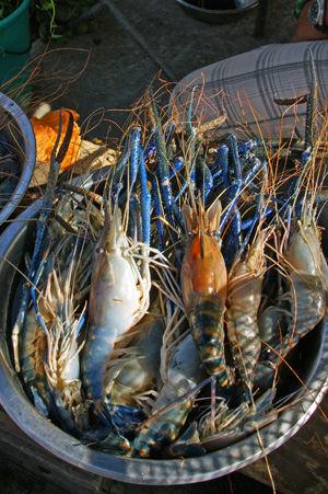 shrimp 1