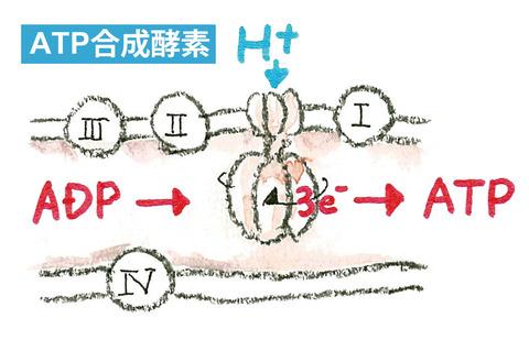 02_ATP合成酵素