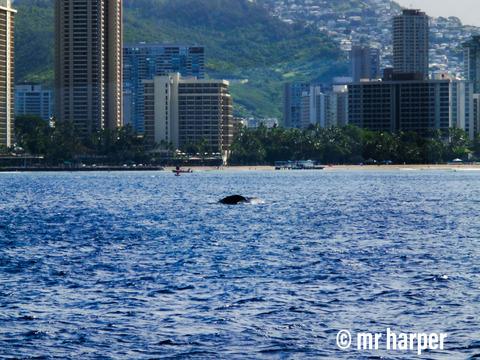 ハワイ クジラ11