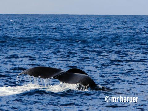 ハワイ クジラ7