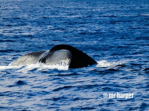 ハワイ クジラ00
