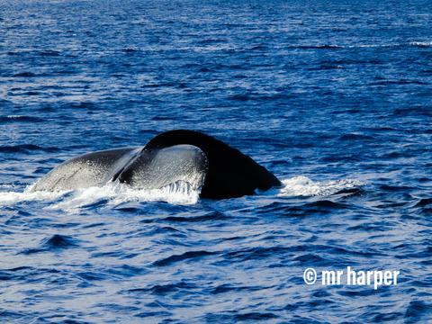 ハワイ クジラ5